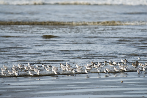 Shorebirds near Pacific Beach