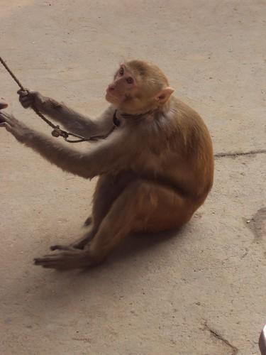 The Dancer Monkey