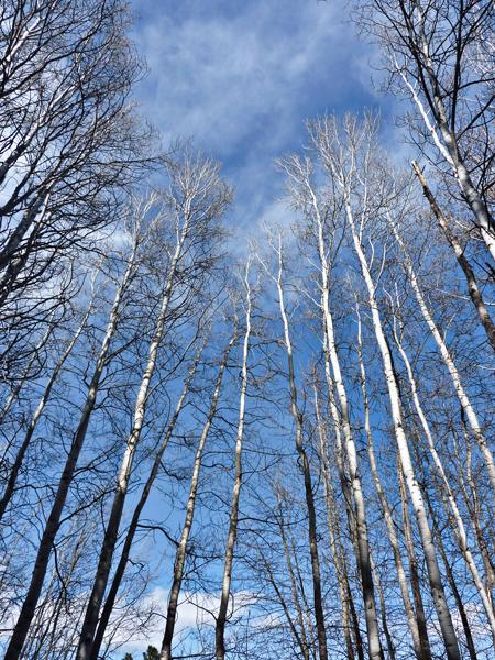 blue sky aspens