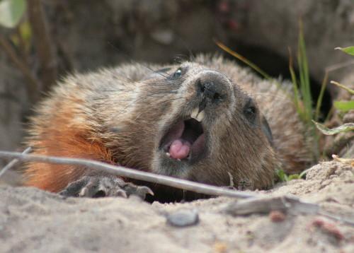groundhog yawning