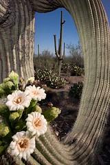 Saguaro Flowers, Tucson