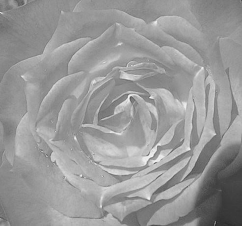 New Rose Bush