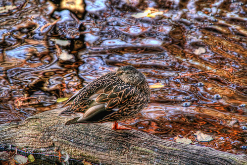 Mallard Hen Sleeping