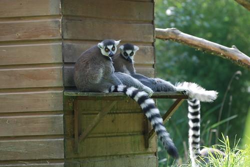 Kattas im Parc Zoologique de La Bourbansais