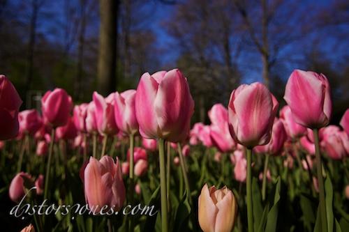 Bosque de tulipanes