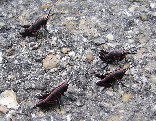Small Plague of Locusts, Jesse H. Jones Park & Nature Center, Humble, Texas 0510100930