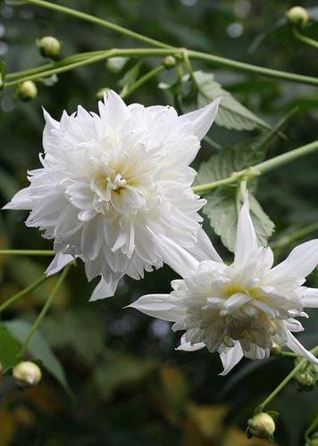 Dahlia 'Double White'