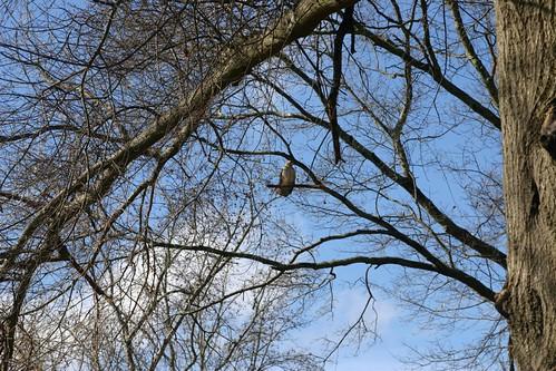 giant hawk looking for kittensnack