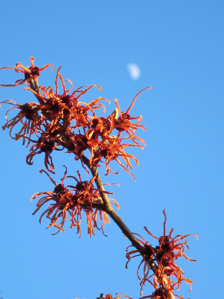 Moonrise over witch hazel