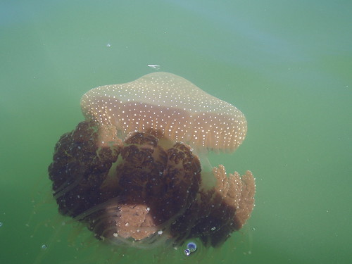 Swan River Brown Jellyfish - phyllorhiza punctata