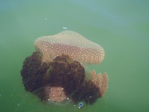 Swan River Brown Jellyfish - phyllorhiza punctata