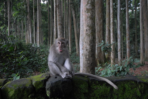 En Route: One of the Sangeh Monkey Forest troublemakers.