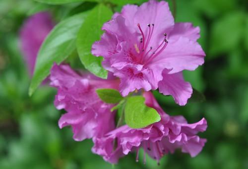 fuchsia azalea cluster