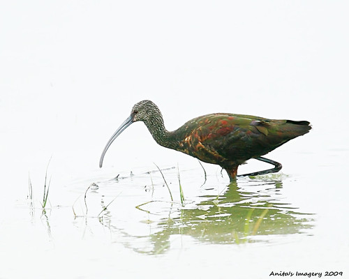 Glossy Ibis - Cheyenne Bottoms