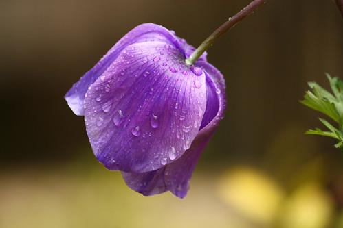 Anemone in rain