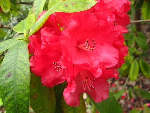 sf botanical garden rhododendron