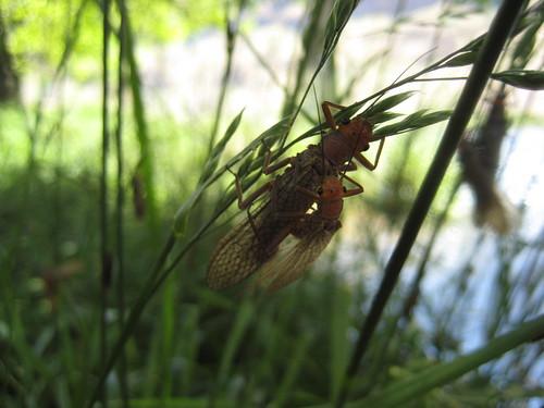 Golden Stoneflies on the Deschutes River