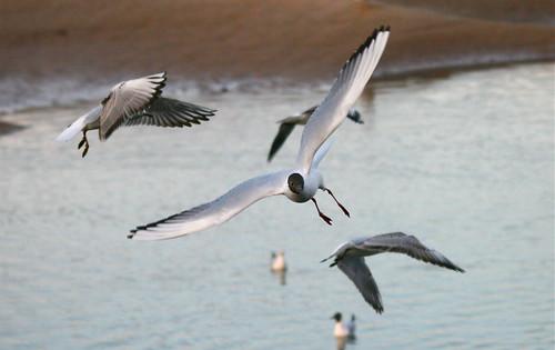 image: gulls in flight