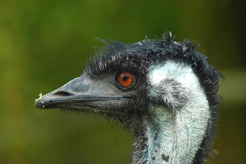 Großer Emu im Parc Zoologique de La Bourbansais