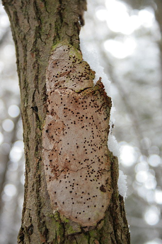 Brown woody mass on side of (poplar?) snag