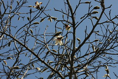 金沢自然公園のコブシ(Kobushi magnolia at Kanazawa Nature Park, Japan)