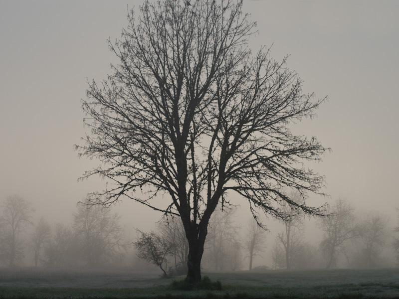 Misty Morning Tree
