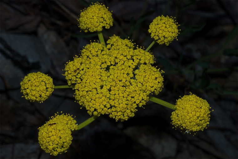 Narrow-leaved Desert Parsley