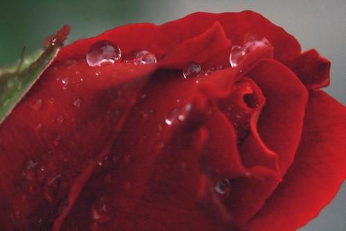 first rose macro
