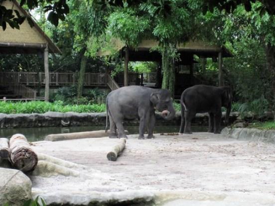 Asian Elephants 2