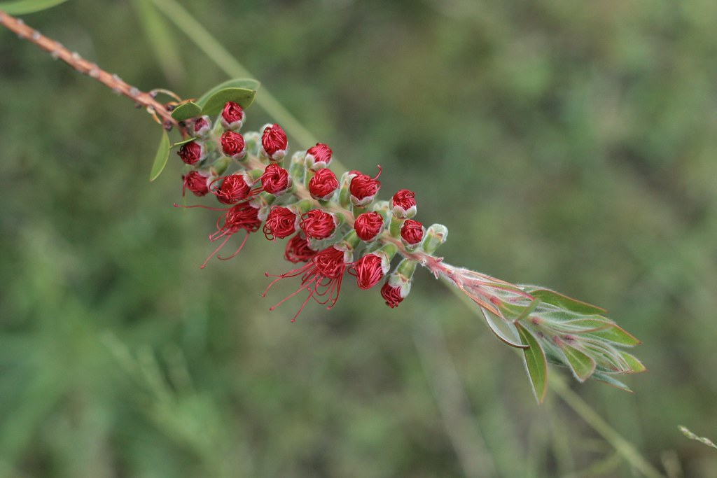 Bottlebrush #2