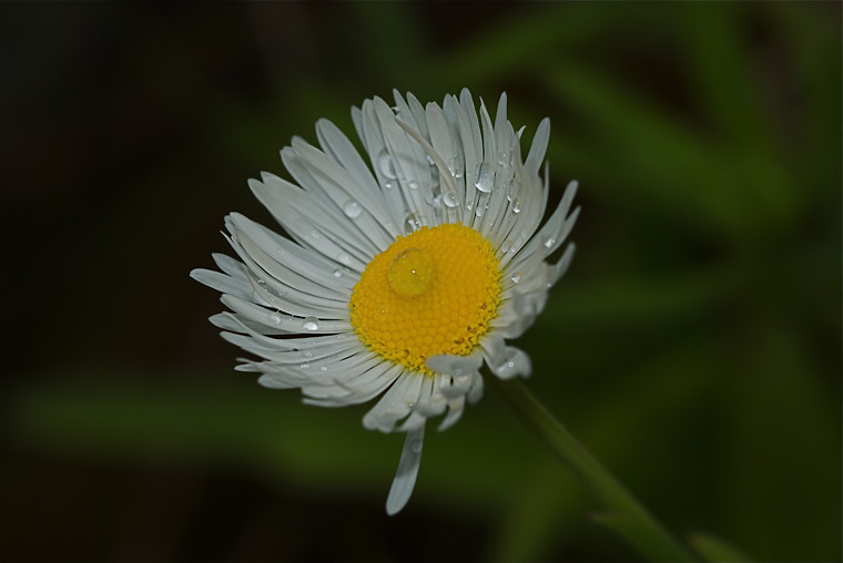 Cut-leaved Daisy