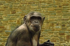 347 - 2017 07 01 - Chimpansee