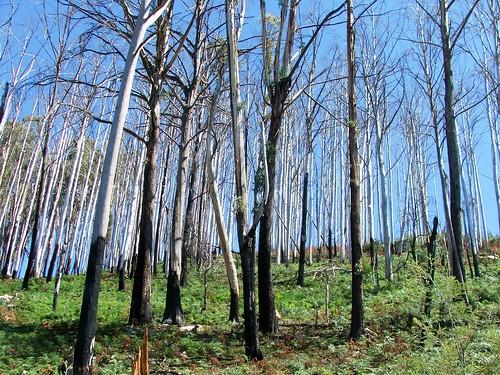 Charred Gum Trees