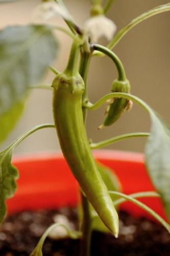 garden update june 1, 2010