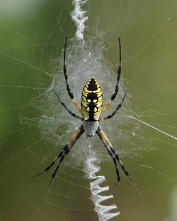 Writing spider, Argiope aurantia