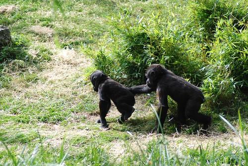Westliche Flachlandgorillas im Zoo Parc de Beauval