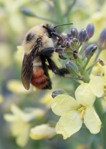 Red-belted Bumble Bee at broccoli flower