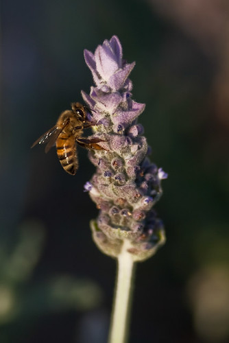 Project 365 # 12: Honeybee and lavender