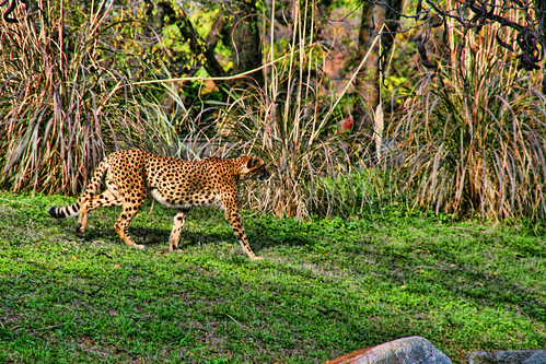 The Leopards Stride