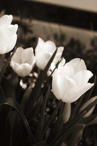 365-111 sepia tulips