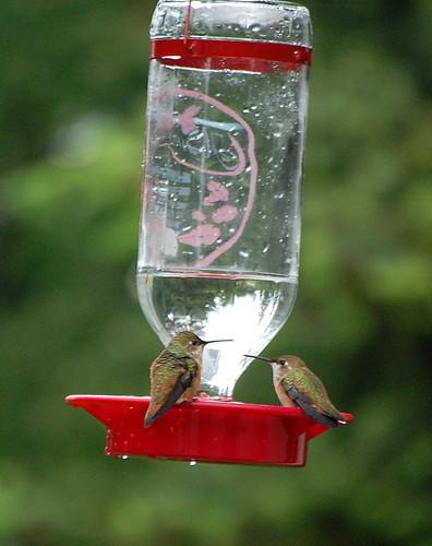 Hummingbird Gossip