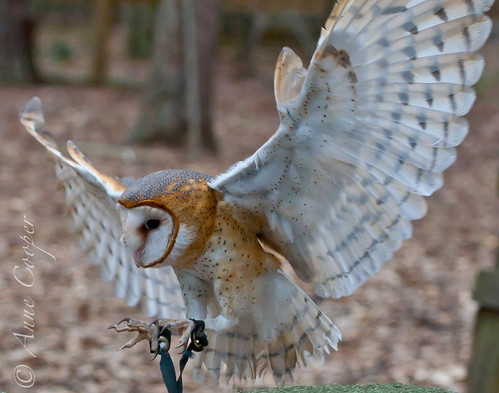 Willow: barn owl (in-flight)