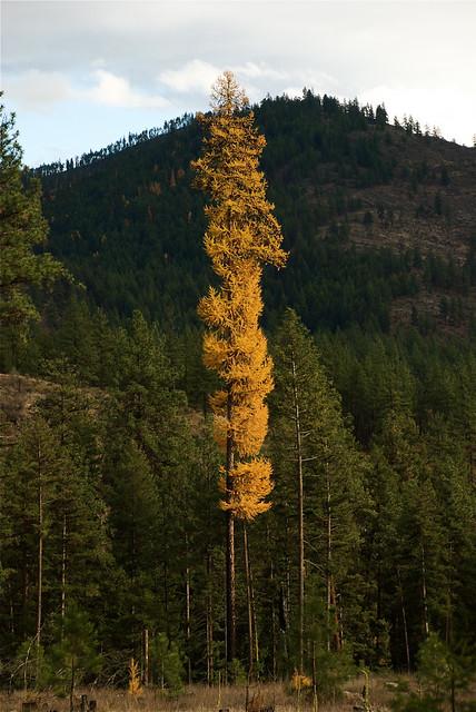 Western larch, autumn