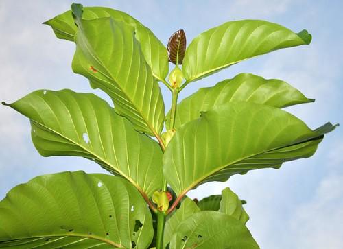 Nauclea orientalis (Leichhardt Tree)