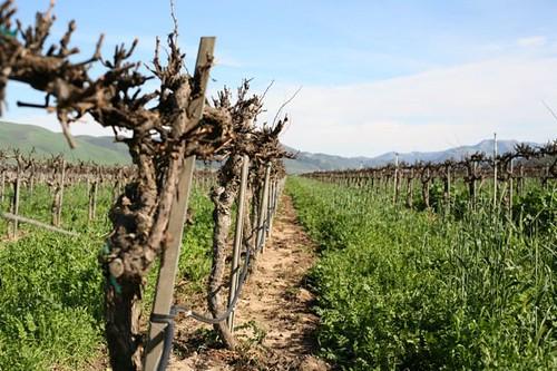 Riverbench vineyard in winter