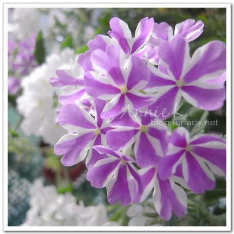 小陽台紫色大花美女櫻