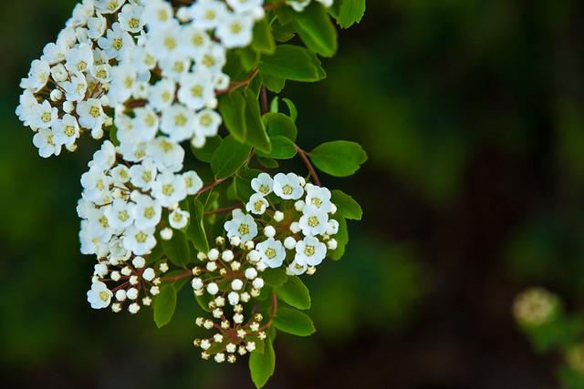 {137/365} Renaissance spirea (blossoms)