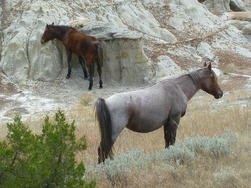 ND Teddy Roosevelt Nat'l Park wild horses 2