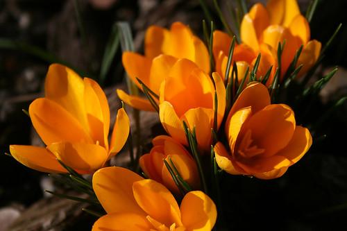 Vendée Sud : les premières fleurs - crocus