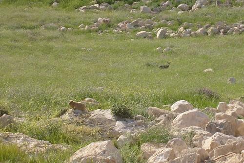 Hyrax and Deer